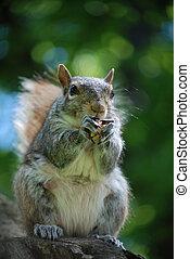 Grey Squirrel Eating a Peanut - Grey squirrel eating a...