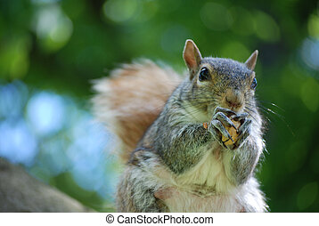 Grey Squirrel Devouring a Peanut - Grey squirrel eating a...