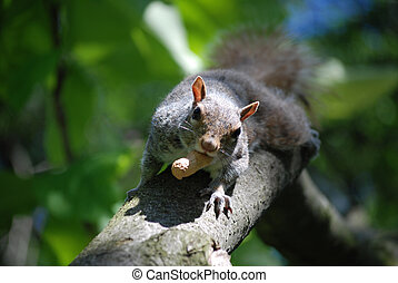 Squirrel Running Down a Tree Branch with a Peanut - Adorable...