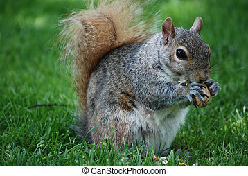 Adorable Squirrel Devouring a Nut - Cute squirrel eating a...