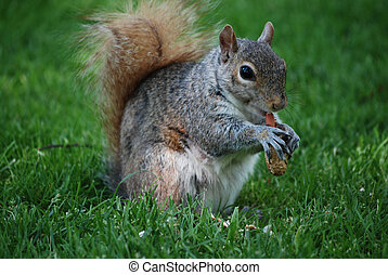 A Squirrel With a Peanut - Cute squirrel eating a peanut in...