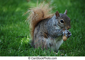 Wild Squirrel Snacking on a Nut - Cute squirrel eating a...