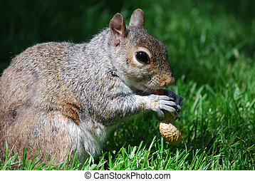Hungry Squirrel Eating a Peanut - Squirrel devouring a...
