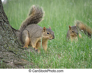 Pair of Playful Squirrels - Cute pair of squirrels playing...