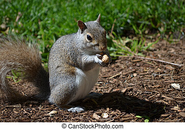 Squirrel Opening Up a Peanut - Grey squirrel cracking open a...