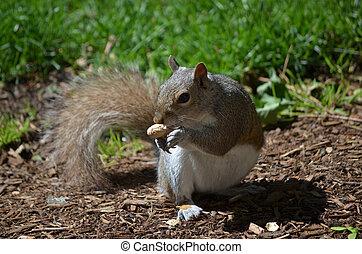 Adorable Posing Grey Squirrel with a Nut - Cute grey...
