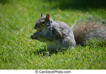 Squirrel with a Peanut in his Paws - Adorable squirrel...
