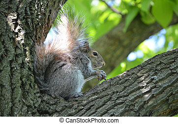 Squirrel Holding a Nut in a Tree - Squirrel sitting in a...