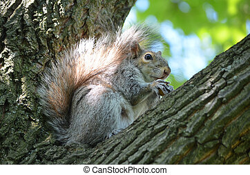 Gray Squirrel Sitting in the Crook of a Tree - Cute gray...