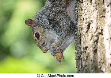 Grey Squirrel Hanging Out - Grey squirrel hanging out eating...
