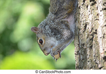 Squirrel Hanging Upside Down on a Tree - Grey squirrel...