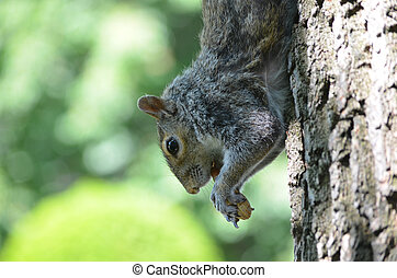 Adorable Squirrel Climbing Down a Tree - Cute grey squirrel...