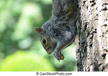 Squirrel Eating a Peanut - Cute grey squirrel with a peanut...