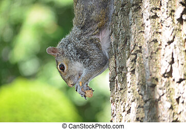 Squirrel Climbing Down the Trunk of a Tree - Squirrel...