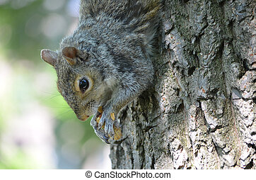 Face of a Squirrel With His Paws Clutching a Nut - Cute...
