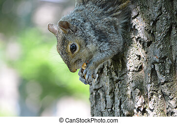 Squirrel Climbing Down a Tree Eating a Nut - Squirrel...