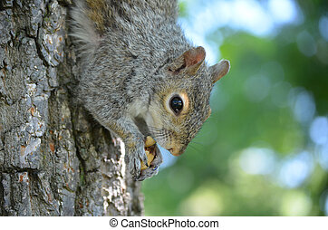 Squirrel with a Nut on a Tree - Cute grey squirrel climbing...