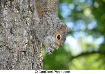 Squirrel Hanging Down a Tree Trunk with a Nut - Squirrel...