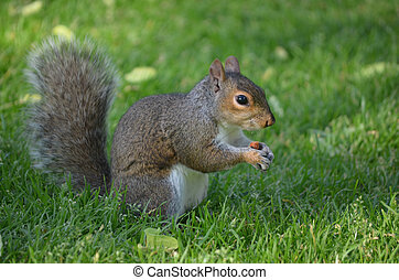 Squirrel in Thick Green Grass Holding a Nut - A squirrel...