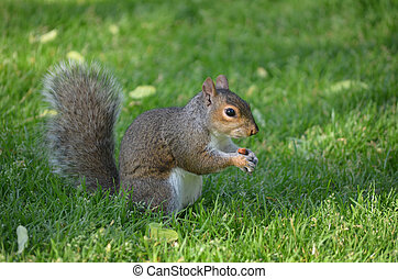 Squirrel in a Grassy Area with a Peanut - Squirrel munching...