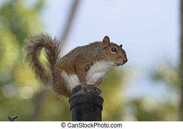 Squirrel On Top of a Chain Link Fence Post - Grey squirrel...