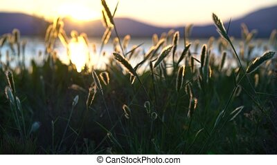 Wild grasses at sunset on wind with small depth of field