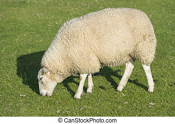 Sheep on a dike - Sheep who graze on a grassy embankment on...