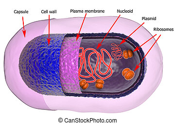 Structure of bacterial cell isolated on white background, 3D...