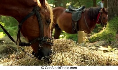 Two beautiful brown horses are eating hay.