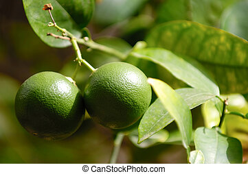 Lime tree with lime fruits
