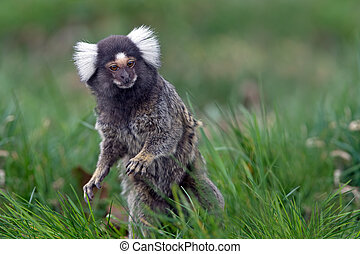 Marmoset (Callithrix Jacchus) - White Eared Marmoset in long...