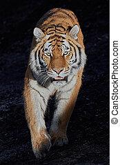 Siberian tiger (Panthera tigris altaica) - Siberian tiger...