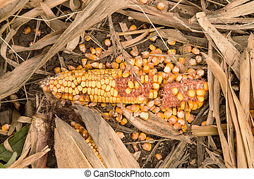 Mature ear of corn lying on the ground