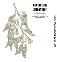 Hand drawn eucalyptus leaves and fruits. Eucalyptus leucoxylon branch. Vector illustration