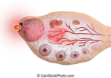 Ovulation in female ovary