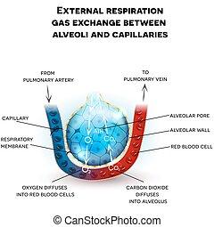 Alveoli anatomy, respiration - Alveoli anatomy, external...