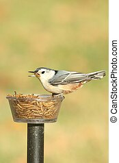 White-breasted Nuthatch (sitta carolinensis) on a feeder...