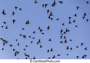 flock of birds that migrate