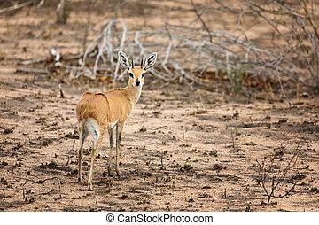 Steenbok in Kruger - An adult steenbok in Kruger National...