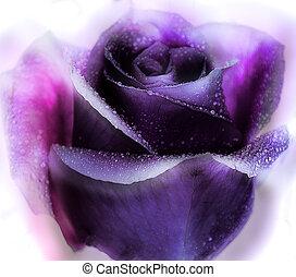 purple rose - flowers
