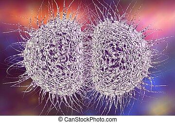 gonococcus, bacterias,  meningococcus, o