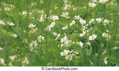 Blossoming wild strawberry - Very beautiful blooming wild...