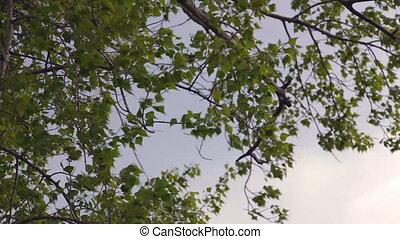 Leaves of poplar against the sky - Poplar leaves flutter in...