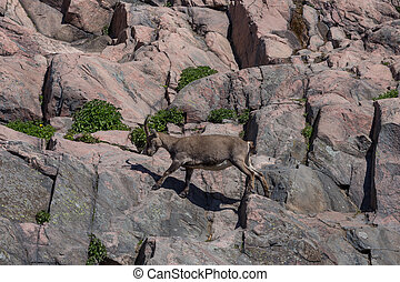 mountain goat on hill - mountain goat on the side of a hill