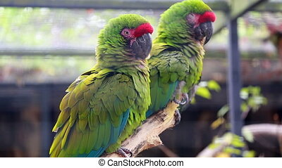 Couple Of Military Macaw - Closeup Of A Couple Of Beautiful...