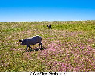 Cerdo iberico iberian pork in Dehesa Spain - Cerdo iberico...