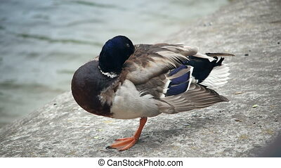 Duck standing in one leg is freesing - Male wild duck....