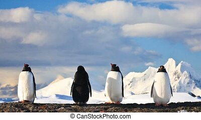 Group of penguins in Antarctica - Four penguins dreaming...