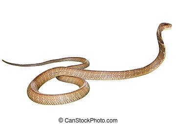 Kobra, schlange, Freigestellt