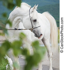 white purebred arabian stallion